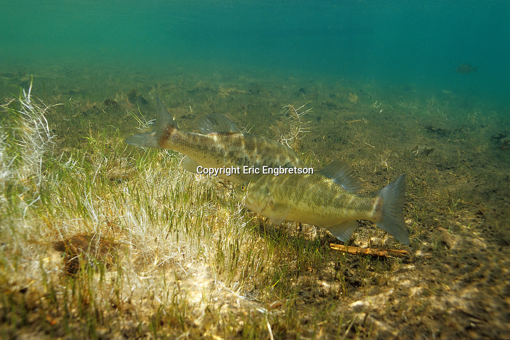 Largemouth Bass Spawning<br /> <br /> ENGBRETSON UNDERWATER PHOTO