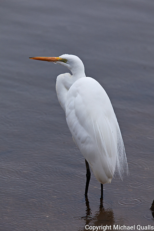 Great Egret in an early morning shower.