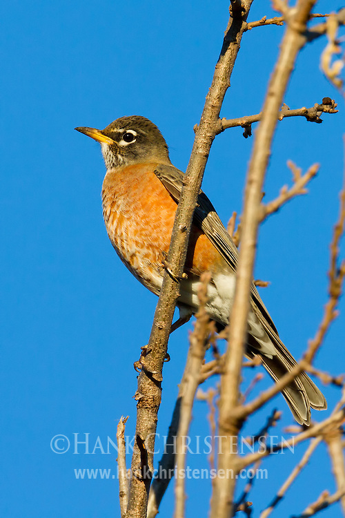 An american robin perches on a small branch in the sun