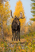 Large Bull Moose standing in the river bottom of Grand Teton National Park.