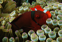 The small male and large female spinecheek anemnefish (Premnas biaculeatus) showing color difference.  In this species, juveniles all grow into males first, and then males later turn into females if they get their own anemone.  There is only one female per anemone.  Wakatobi Islands, Sulawesi, Indonesia.  June 2004.