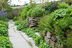 Ferns and Alchemillas mollis growing in the stone walls at Glebe Cottage. Flag stone path