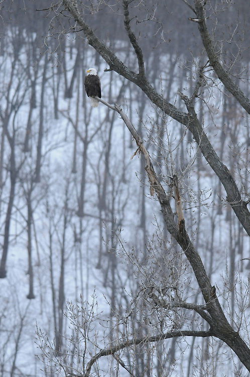 Photographer: Kyle Reynolds. Bird Species: Bald Eagle. Location: Chemung River, Elmira, NY.