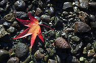 Red Maple Leaf on Rocks, British Columbia Canada
