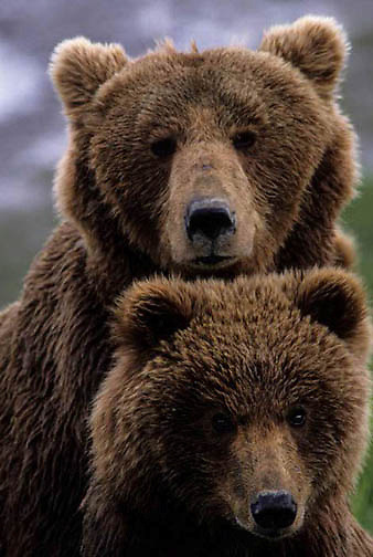 Alaskan Brown Bear, (Ursus middendorffi) Portrait of sow and cub. Alaska Peninsula.