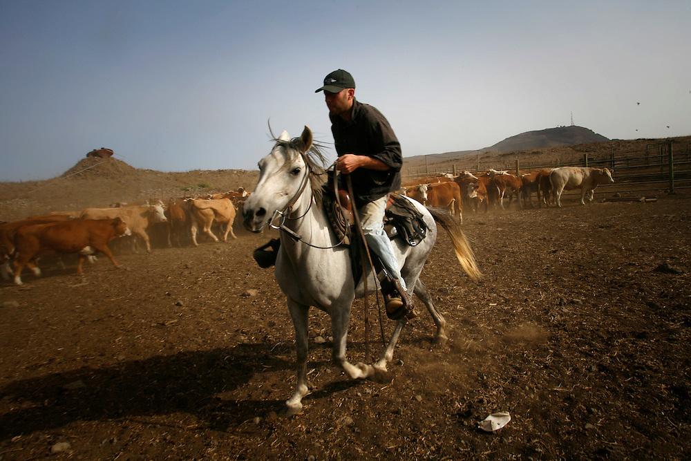 Yair Negev 24 gathering the cattle for veterinary checks in Moshav Yehonatan in the Golan height, Israel. Sunday October, 08, 2007