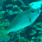 Yellowtail Parrotfish commonly in shallow areas of coral rubble and seagrass, occasionally on reefs, scrape filamentous algae from hard substrates in Tropical West Atlantic; picture taken Grand Cayman.