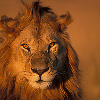 Africa, Kenya, Masai Mara Game Reserve, Close-up portrait of Adult Male Lion (Panthera leo) on savanna at dawn