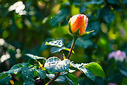 Orange Rose growing in a garden. Photographed in Romania in May
