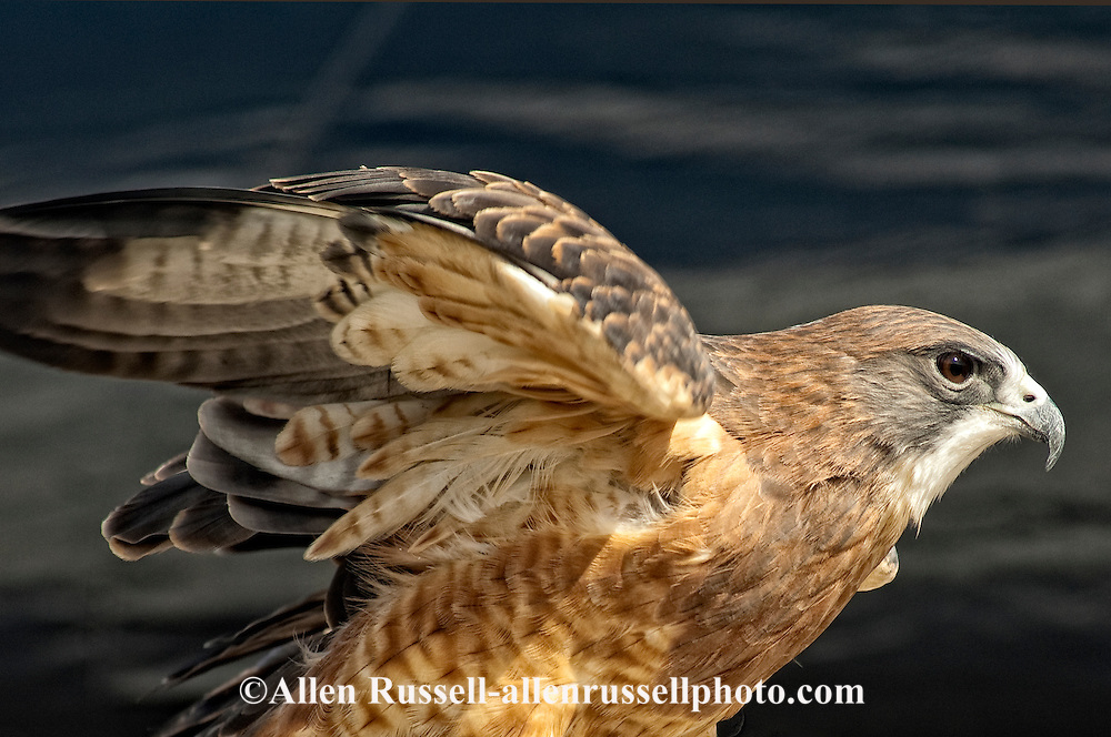 Swainson's Hawk, (Buteo swainsoni)