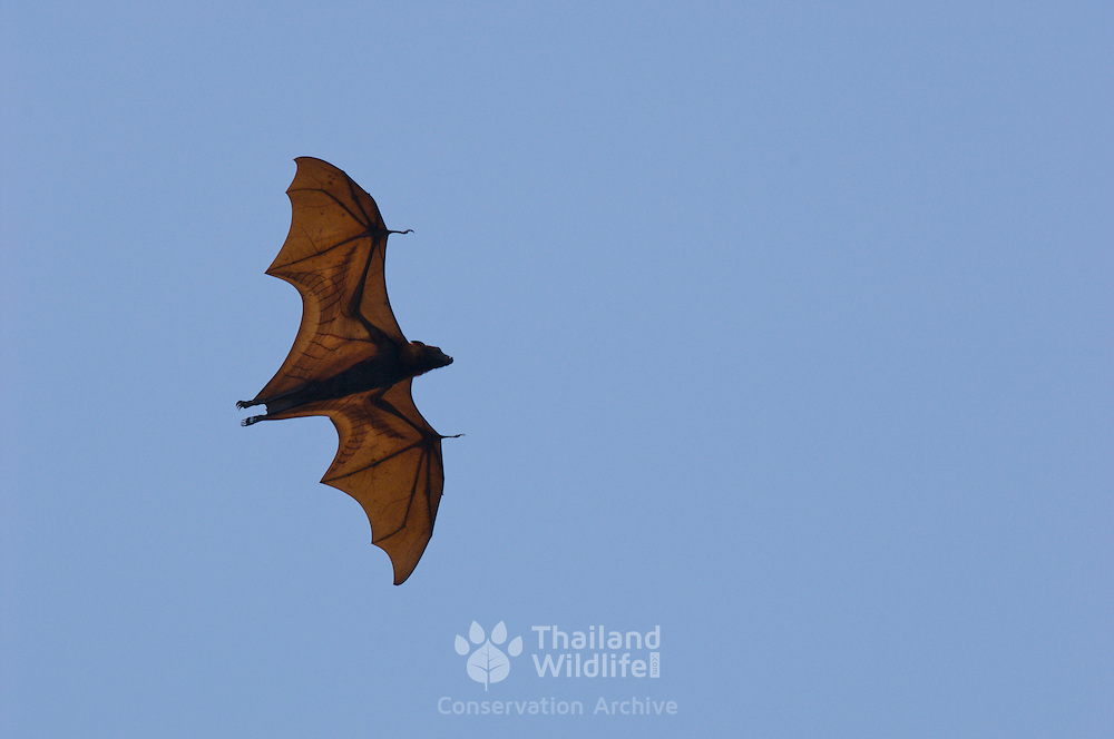 Large Flying Fox Pteropus vampyrus can reach a wingspan of almost 1.5 metres. Despite the 'vampire' name these huge bats are fruit and nectar eaters...The species ranges from Burma, Thailand, Indochina and Peninsular Malaysia to Sumatra, Borneo, Java and the Philippines.