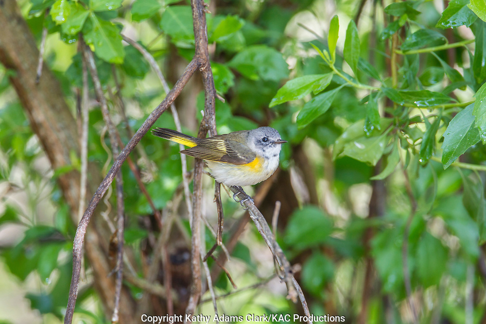 American redstart, Setophaga ruticilla, female, spring, Quintana Neotropical Bird Sanctuary, Quintana, Texas coast.