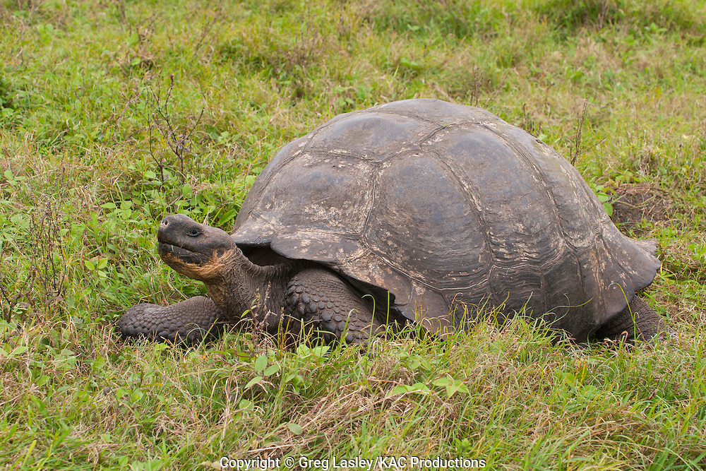 Galapagos Tortoise.AKA Galapagos Giant Tortoise.Geochelone elephantophus.highlands of.Santa Cruz Island,.Galapagos,.Ecuador.22 August 2010
