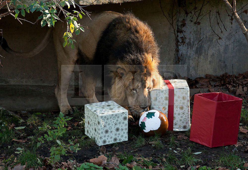 © Licensed to London News Pictures. 15/12/2011. LONDON, UK. London Zoo's male lion, Lucifer, investigates presents left for his pride inside their enclosure by a keeper. The lions London of London Zoo get into the Christmas Spirit after keepers delivered some early presents to their enclosure. Photo credit: Matt Cetti-Roberts/LNP