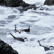 Chinstrap Penguin, (Pygoscelis antarctica) Swimming in surf at Cooper Bay, South Georgia Island
