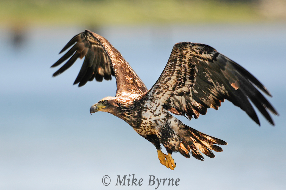 Bald Eagle. (Heliaeetus leucocephalus), Courtenay, British Columbia, Canada, Isobel Springett