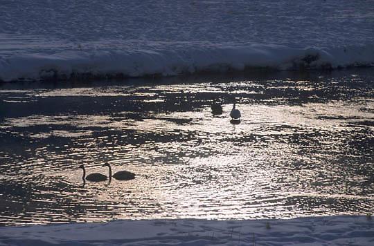 Trumpeter Swan, (Cygnus buccinator) Yellowstone National Park.