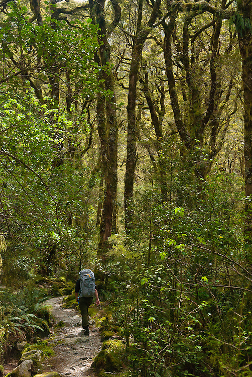 A hiker traverses a rocky trail among tall Beech trees that tower over the Milford Track, Fiordland, New Zealand