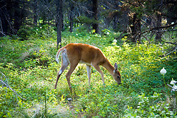 Many Glaciers area, Montana:  A deer gets up close and personal near the Many Glaciers Hotel. A variety of animals populate Glacier National Park.
