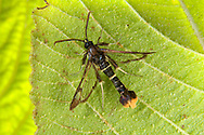Orange-tailed Clearwing - Synanthedon andrenaeformis
