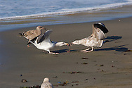 California Gulls (Larus californicus) fighting over Elephant Seal afterbirth