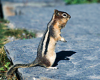 Golden-mantled Ground Squirrel (Spermophilus lateralis), Near Lake Louise, Banff National Park, Alberta, Canada   Photo: Peter Llewellyn