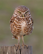 Burrowing owl hunting from a fence post, © 2011 David A. Ponton