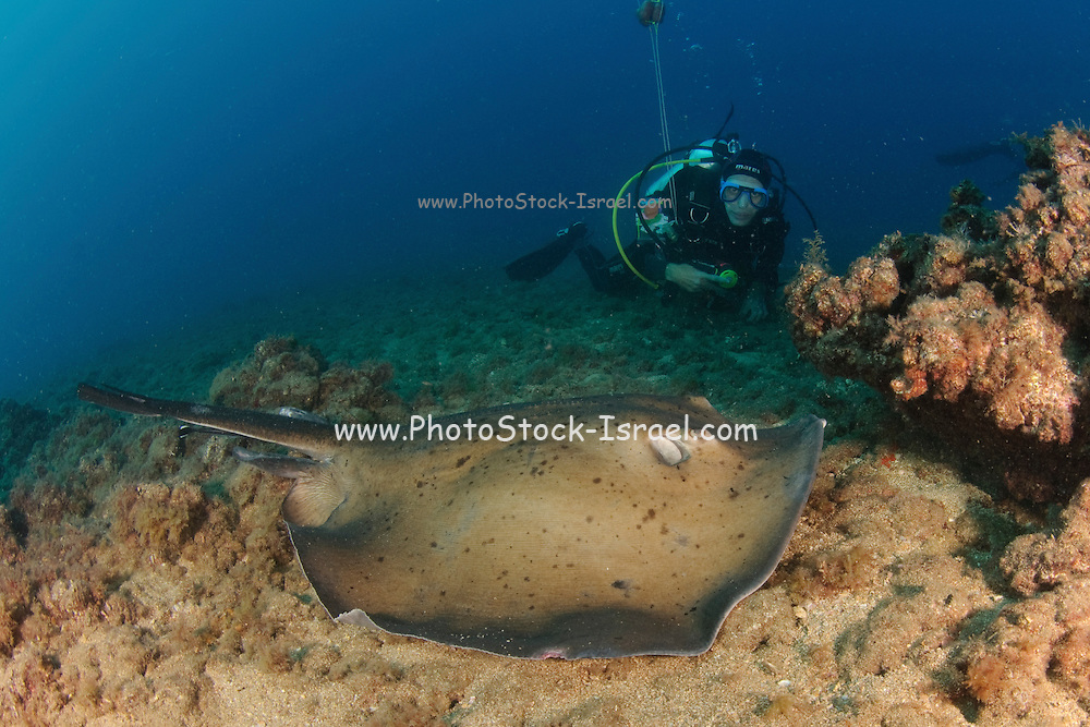 The common stingray (Dasyatis pastinaca) is a species of stingray in the family Dasyatidae, found in the northeastern Atlantic Ocean and the Mediterranean and Black Seas. It typically inhabits sandy or muddy habitats in coastal waters shallower than 60 m (200 ft), often burying itself in sediment. Usually measuring 45 cm (18 in) across,