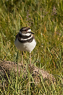 Kildeer in Yellowstone National Park, July 1, 2017.