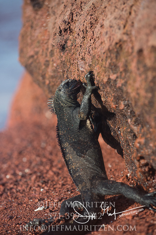 A Marine iguana feeds on algae that has been exposed during low tide on Rabida island, part of the Galapagos islands of Ecuador.