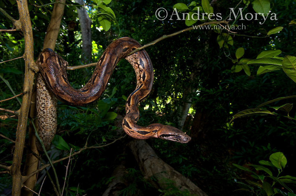 Madagascar Ground Boa ( Acrantophis madagascariensis ) Madagascar Image by Andres Morya