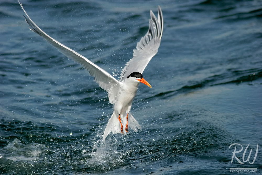 Royal Tern Flying Out of Water Resembling a Rising Phoenix, Bolsa Chica Ecological Reserve, California
