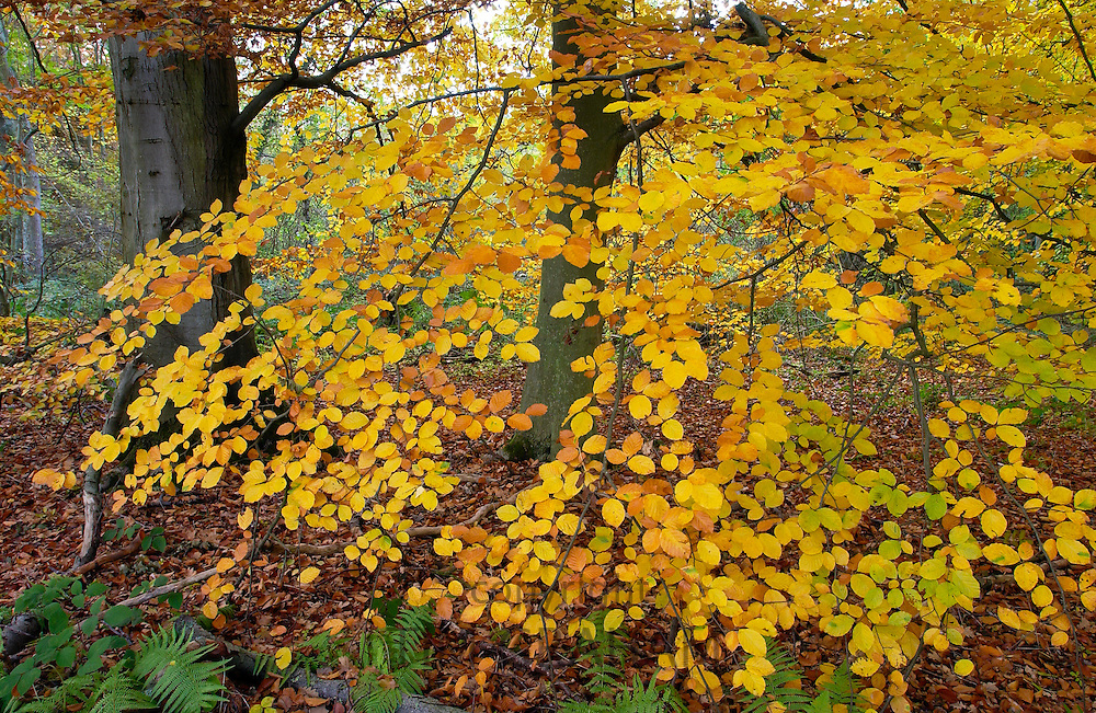 Beech leaves and ferns in a woodland during autumn in England
