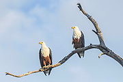Pair of African Fish-eagles (Haliaeetus vocifer sitting on a branch with a cloudy sky blue sky behind them