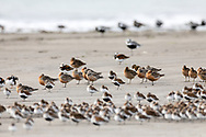 Red Knots, Short-billed Dowitchers, Western Sandpipers, Dunlins, Ruddy Turnstones, and Black-bellied Plovers rest on Egg Island during the spring migration through Prince William Sound in Southcentral Alaska. Afternoon.