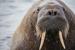 A close-up underwater split image of a walrus (Odobenus rosmarus) in the Arctic Ocean ,  Svalbard, Norway