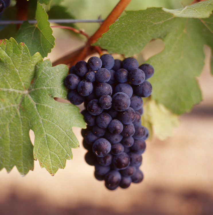 Pinot noir grapes on the vine in Dundee, Oregon