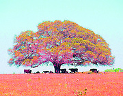 """Colorful photo of cows under a perfect spreading oak tree on a hot summer day in Texas. NOTE: Click """"Shopping Cart"""" icon for available sizes and prices. If a """"Purchase this image"""" screen opens, click arrow on it. Doing so does not constitute making a purchase. To purchase, additional steps are required."""