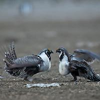 agressive sage grouse on lek breeding colors, breeding plumage