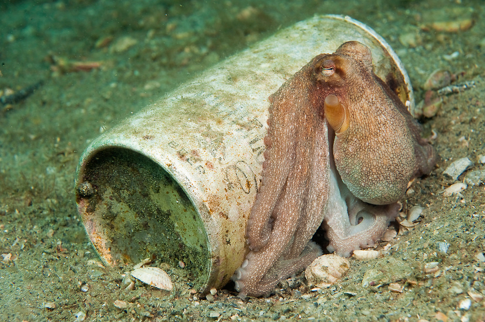 A Long Arm Octopus, Octopus defilippi, hides next to an old can.