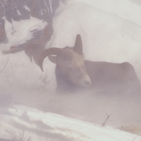 Bighorn sheep in blizzard. Mount Altyn, Galcier National Park, Montana.