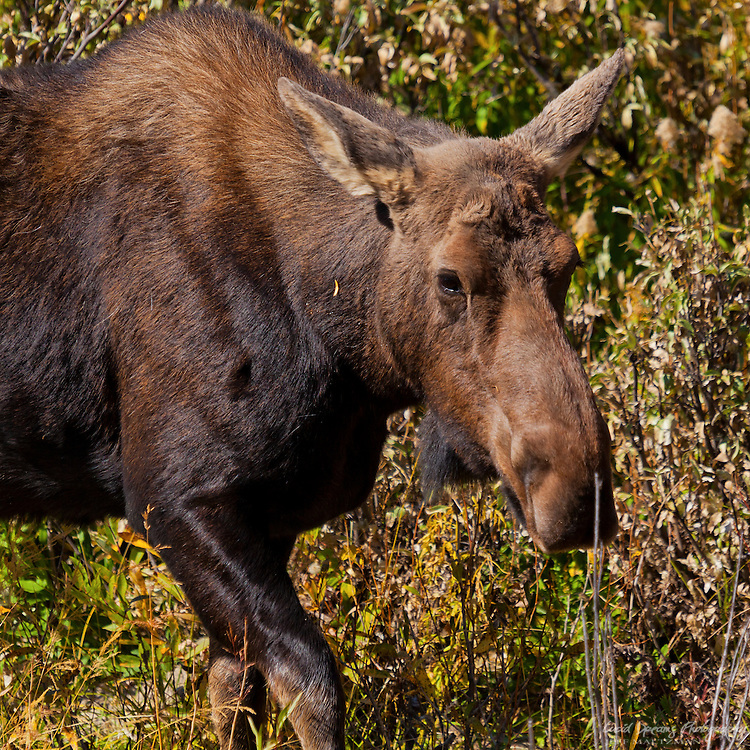 A young moose enjoys an afternoon snack in the Tetons