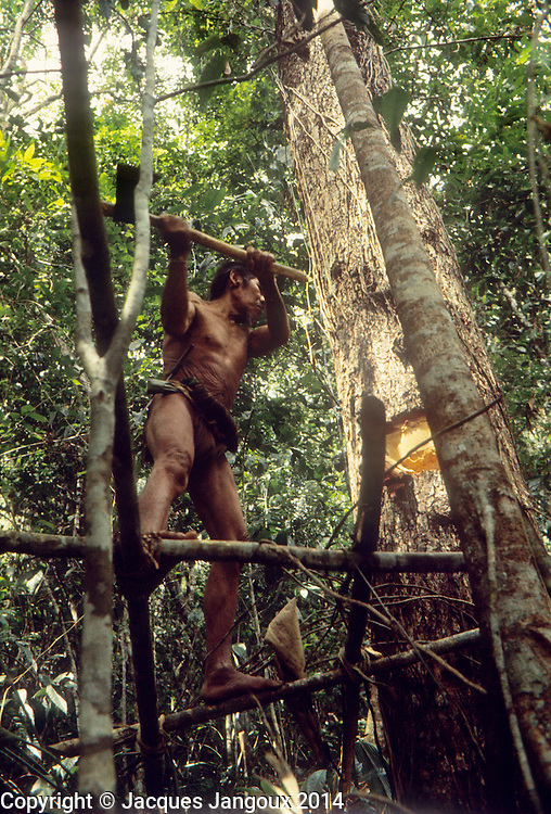 South America, Venezuela, Guiana HIghlands, Hoti (Hodi) Indians. Man standing on scaffold, cutting up tree to collect honey from beehive or to collect mature fruit.