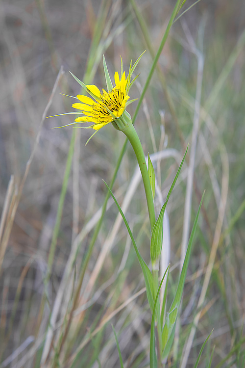Yellow salsify is a tall, single-flowering non-native European import commonly found in the drier parts of the North America, excluding much of the American Southeast. The flowers are known for their unusual habit of closing in the middle of the day. This one was photographed early in the morning near the banks of the Teiton River, just south of Naches, Washington.