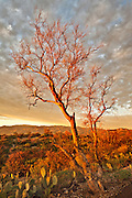 A leafless Foothill Palo Verde tree (Cercidium microphyllum) catches the last light of the day as sunset approaches in Saguaro National Park outside Tucson, Arizona.  The Foothill Palo Verde is one of the most widespread trees of the Sonoran Desert and, although they may live for several hundred years, they are exceedingly slow-growing and typically only reach a height of 10-15 feet (rarely 25-30 feet have been reported). These trees have a very deep root system and are &ldquo;branch deciduous&rdquo; with a tendency to have basal branches die-off during periods of severe drought &ndash; thus becoming a smaller tree.  This specimen appears dead, having lost its typical small leaves and its green chlorophyll containing bark which can support photosynthesis when the tree has shed its leaves during excessively dry periods.  Despite these adaptations for survival in the adult tree, the seedlings are susceptible to desiccation during the first few months of their lives with only 1.6% of seedlings surviving.<br /> <br /> This image was taken just before sunset in the Rincon Mountain District of Saguaro National Park immediately adjacent to the narrow, paved, one-way Cactus Forest Drive - a portion of which can be seen in the lower right corner of the photograph.  In the foreground are Prickly Pear Cactus (Opuntia engelmannii).  It had been an unusual cloudy day until just shortly before sunset when the clouds began to dissipate and the sun dropped below the edge of the storm front &ndash; bathing the entire landscape in golden light.  The best light lasted literally for less than a minute and I was only able to capture one frame of this scene before the intensity of the spectacle was lost.