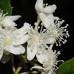 Lacebark?? Unknown, White Flower, Bream Head