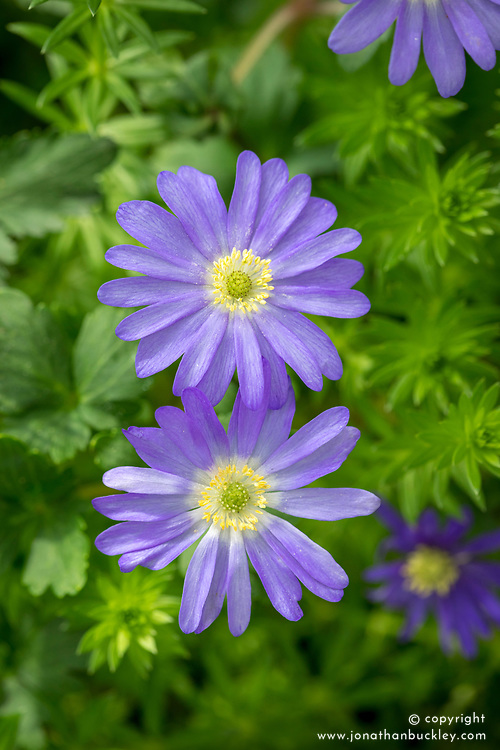 Anemone blanda 'Blue'.