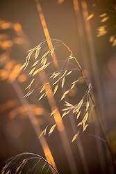 Stipa gigantea seedheads. - Golden Oats