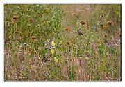 Bronze Mannikin in a field of African flowers. Nairobi National Park, Kenya. Nikon D700, 200-400mm + TC17 @ 650mm, f6.7, 1/400sec, ISO500, Manual modus