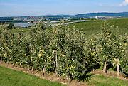 Apfelplantage, Landschaft mit Obstanbau bei Frickingen, Bodensee, Baden-Württemberg, Deutschland